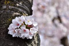 胴吹き束桜