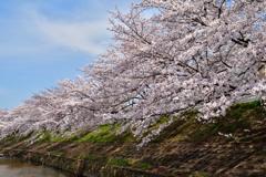 佐保川の桜並木