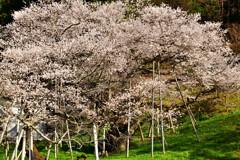 老桜の雄姿
