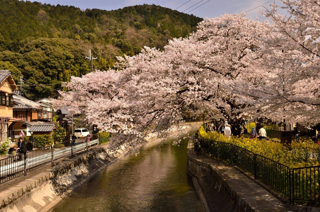 疎水の桜並木