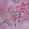 pink・sakura