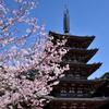 2015醍醐の桜(6)