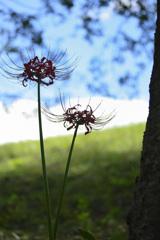 夏の終わりを告げる花