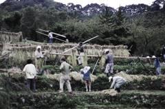 Rice harvest(pseudo-bleach bypass)