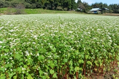 Buckwheat flower of this season