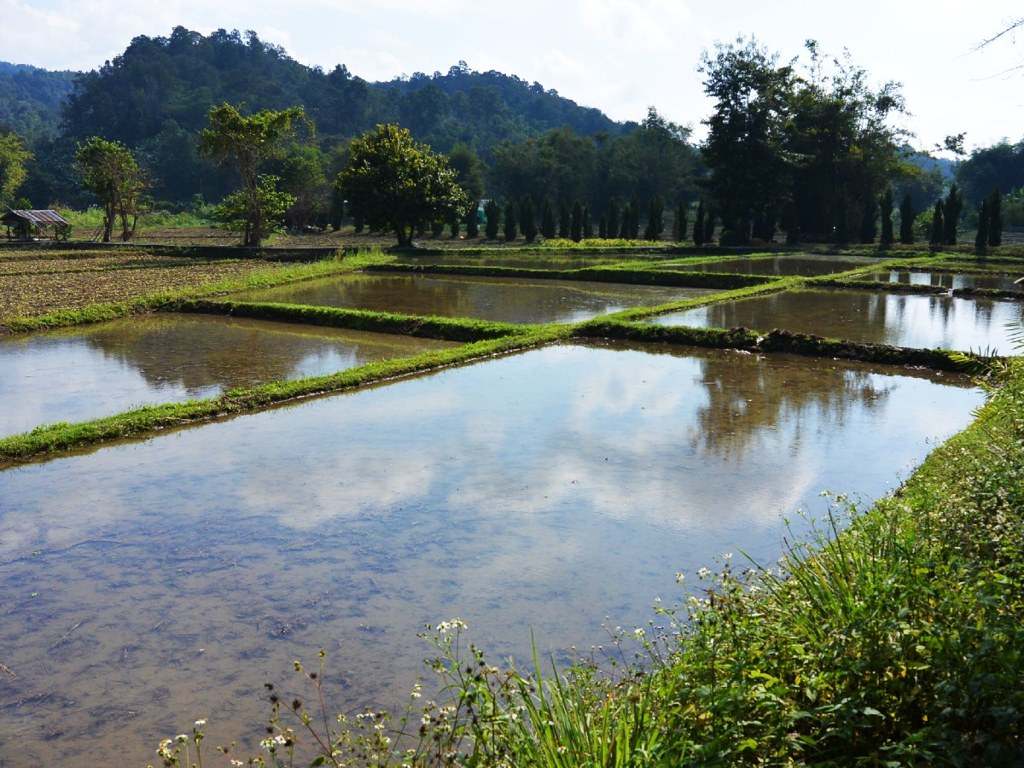 Rice field filled with water