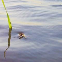 Water strider in rice field