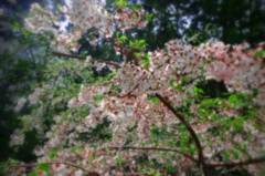 山桜(Jamasakura)