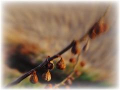 Dried in winter wind