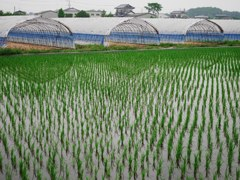Rice field and greenhouse
