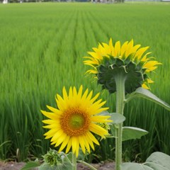 Sunflower and rice-field