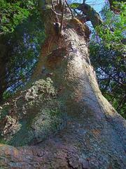 春の気配2(境内の大樹)