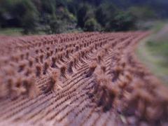 Bundles of rice-straw after harvest