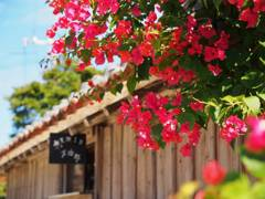 Bougainvillea in TAKETOMI island