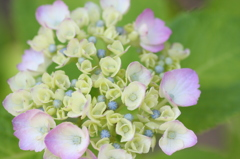 紫陽花ラッパ