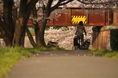 桜並木は生活の中に