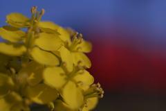 菜の花と赤い電車