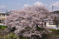 玄関から見える桜~2010~