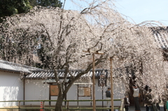 醍醐寺のしだれ桜