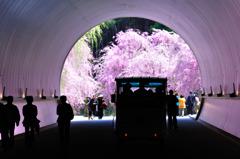 桜色のトンネルをくぐって