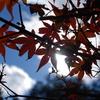 赤い葉、青空、白い雲