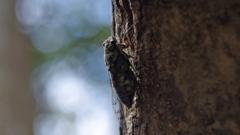 ヤンバルに棲む蝉