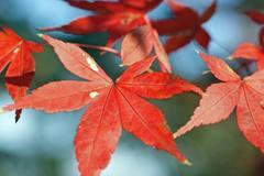 赤の葉っぱ