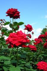 赤い薔薇と青い空