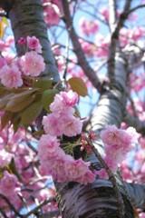 八重桜と幹