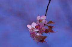 青空に桜-2