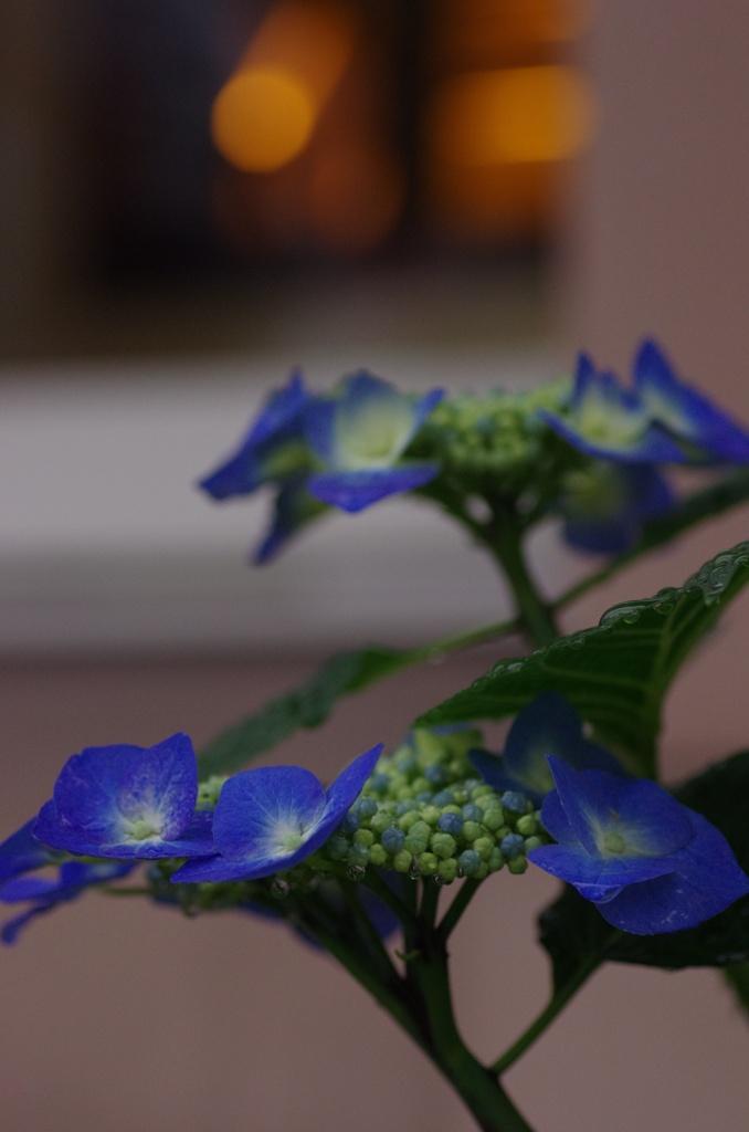 ホテルの紫陽花