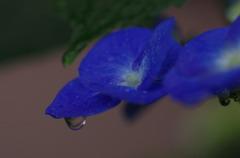 紫陽花に雨滴