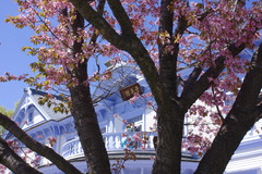 新しい未来と桜