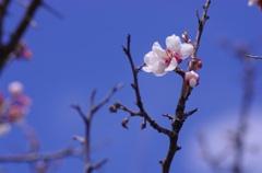 青空に桜-1
