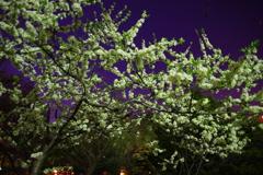 都会の夜空と桜