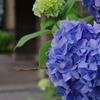 札幌の紫陽花