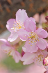 小春日和~河津桜