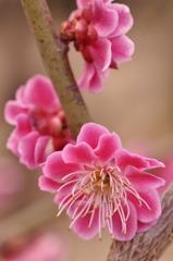 緋の司 という名の梅の花。