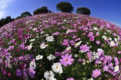 コスモスの咲く丘