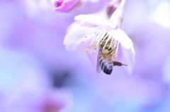 河津さくらとミツバチ~淡い編