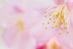 とろける桜