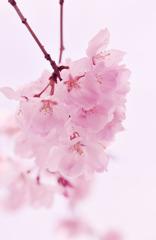 さくら-Pink sakura