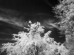 sakura Infrared