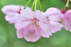 ミントな桜
