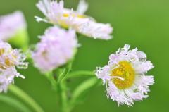 雨の春紫苑