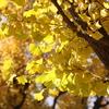 神宮外苑 いちょう並木(1)