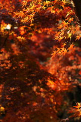 きらきら紅葉