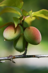 Fruit of  plum