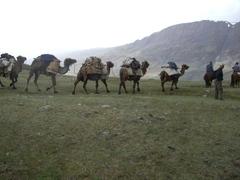 アルタイ山脈のラクダ