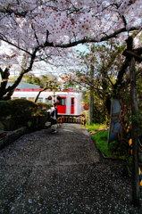 いちご列車と桜
